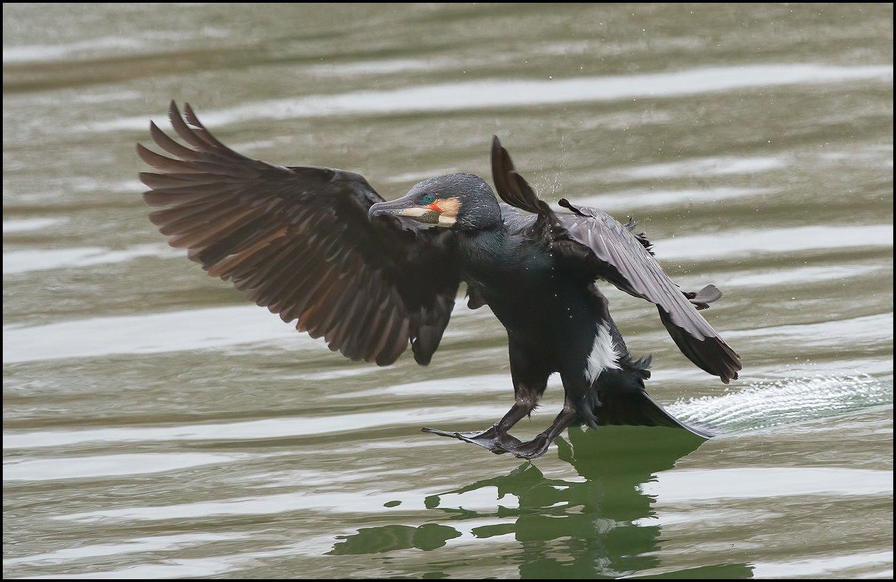 cormorant-.jpg.b956cbe6b75769042d1e11f87776bad5.jpg